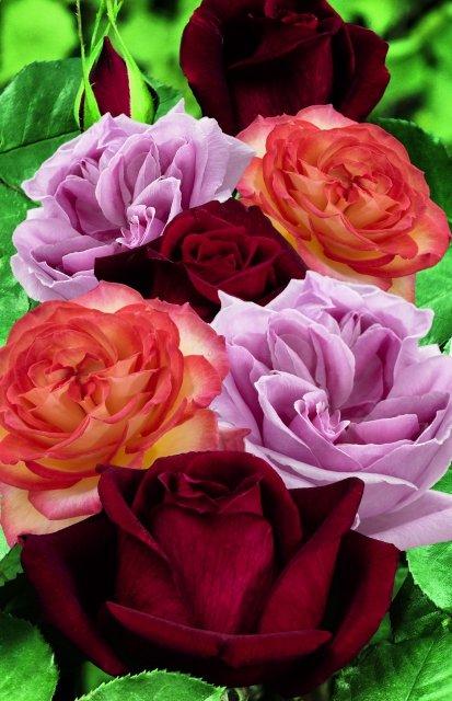 Sterk_geurende_rozen_gemengd