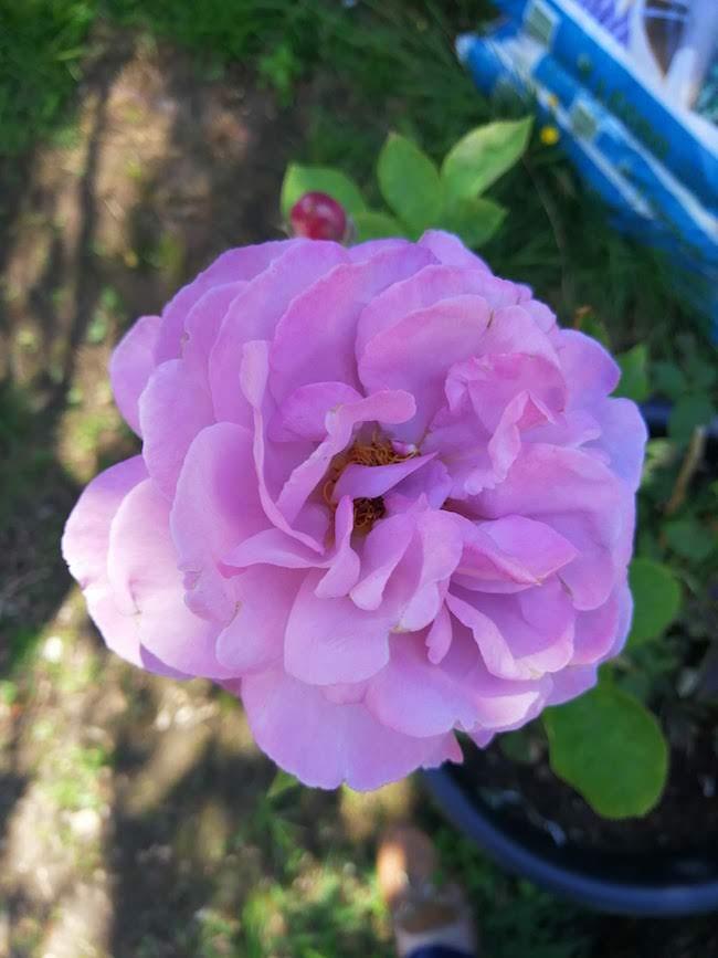 lila-rozen