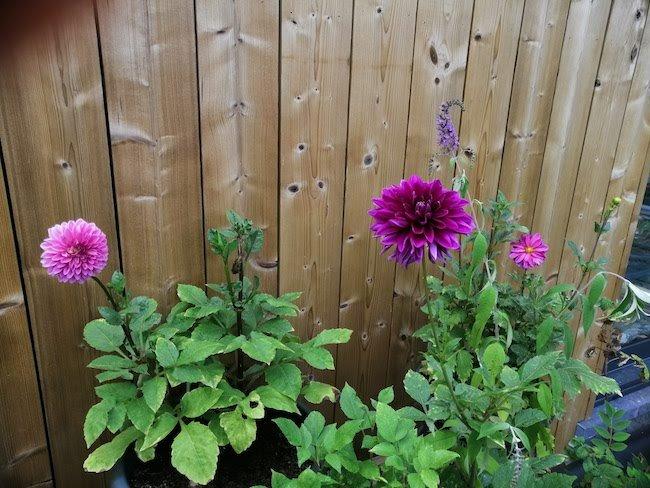roze-paarse-dahlias
