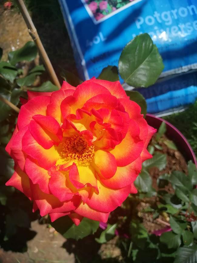 rozenstruik-2