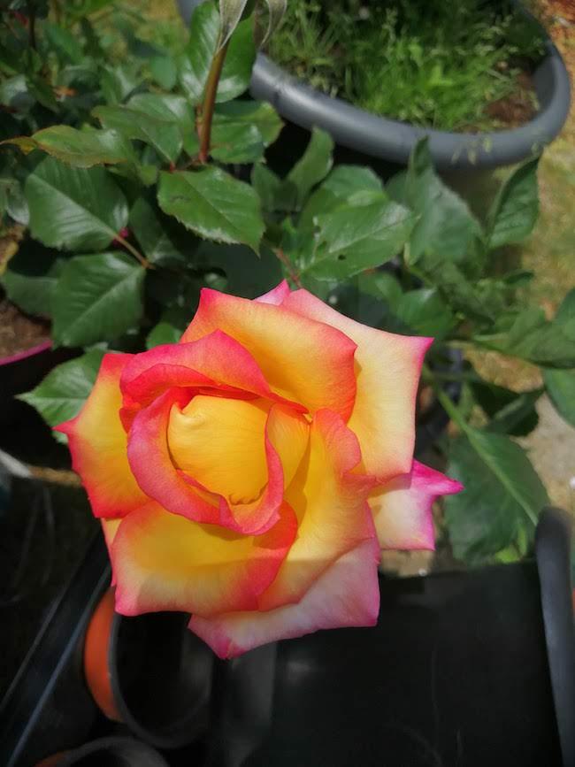 rozenstruik